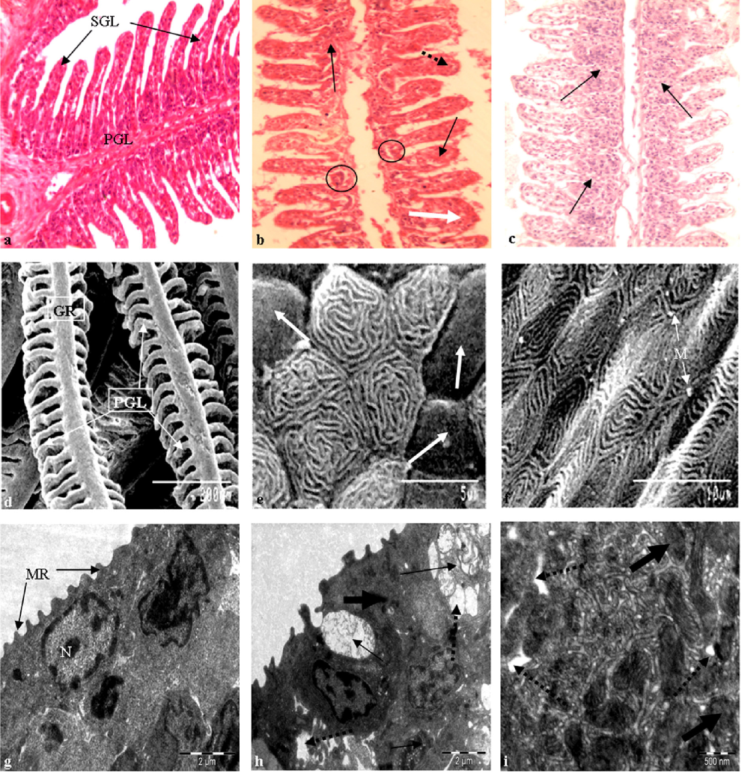 Figure 1: Histopathological photomicrographs of gills of <i>Heteropneustes fossilis</i> under control conditions (Co), glyphosate-treated laboratory conditions (GL), and glyphosate-treated field conditions (GF). (A) Normal structure of primary gill lamellae (PGL) and secondary (SGL) lamella under light microscopy (Co, 400×). (B) Hypertrophy (arrow), fusion (white arrow) of SGL and distortion of chloride (oval) and pillar cells (broken arrow) under light microscopy (GL, 400×). (C) Partial fusion of SGL (white arrow) and hypertrophy (arrow) under light microscopy (GF, 400×). (D) SEM showing normal arrangement of gill rackers (GR) with primary gill lamellae (PGL) and stratified epithelial cells (SEC) on the PGL (Co, 200×). (E) Gill epithelium showing loss of Microridge (MR) in SEC (arrow) under SEM (GL, 8000×). (F) Almost normal appearance of MR in SEC and excess mucin (M) droplets under SEM (GF, 5000×). (G) Gill epithelial cell under TEM showing normal chloride cells (CC), pavement cells (PC) with prominent mitochondria (M) with apical pore (square) (Co, 3200×).(H) Degenerative chloride cells (arrow), severe distortion in mitochondria (bold arrow), severe cytoplasmic vacuolation (broken arrow) with dilated endoplasmic reticulum underTEM (GL, 2500×). (I) Vacuolation (broken arrow) and dilated mitochondria (bold arrow) under TEM (GF, 8000×). SEM = scanning electron microscopy; TEM = transmission electron microscopy.