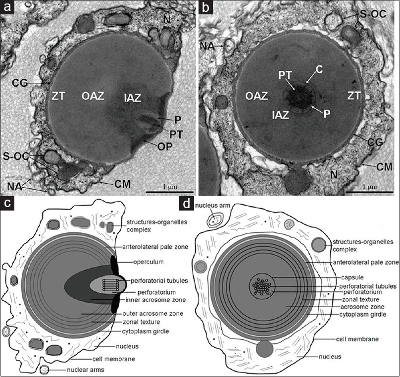 Figure 2: Transmission electron micrographs and schematic diagrams of spermatozoa of <i>Eriocheir sinensis</i>. (a) Transmission electron micrograph of tangential section of spermatozoon of <i>Eriocheir sinensis</i>. (b) Transmission electron micrograph of transverse sections of spermatozoon of <i>Eriocheir sinensis</i>. (c) Schematic diagrams of tangential section of spermatozoon. (d) Schematic diagrams of transverse section of spermatozoon. IAZ: Inner acrosome zone, OAZ: Outer acrosome zone, ZT: Zonal texture, P: Perforatorium, PT: Perforatorial tubules, OP: Operculum, N: Nucleus, CG: Cytoplasm girdle, S-OC: Structures-organelles complex, NA: Nuclear arms, CM: Cell membrane